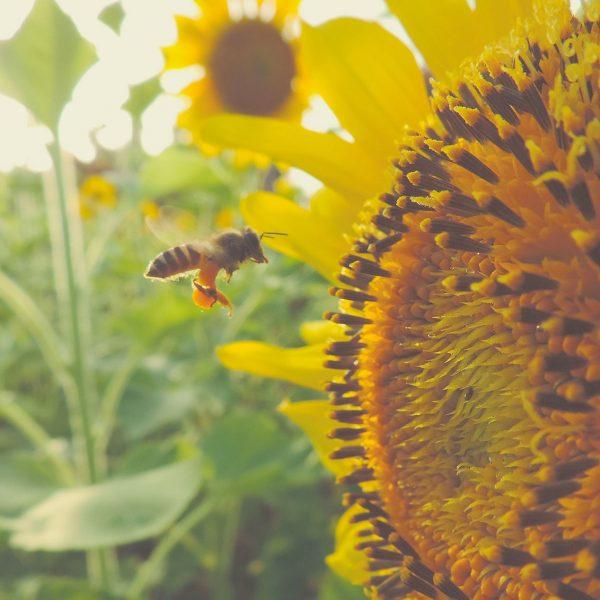 tournesol-abeille